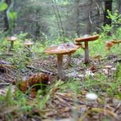 Grzyby w lesie - fot. pixabay.com (domena publiczna)